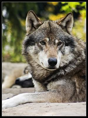 Mount Shasta Wolf Pack - OPEN TO ALL Wolf3-1