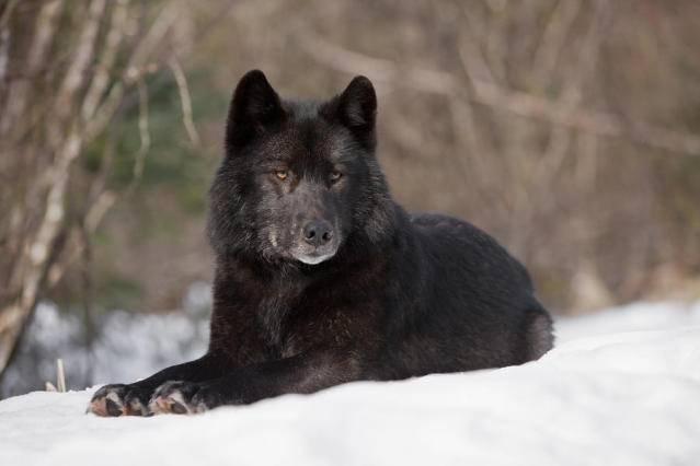 Ramses The Wise Black-wolf-john-hyde