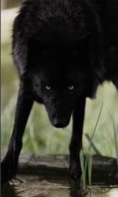 Steele The Cunning Black_wolf_by_blackshadowmamba27