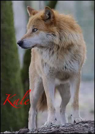 Mount Shasta Wolf Pack - OPEN TO ALL Pretty_wolf