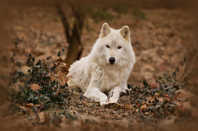 Azul The Brave White-wolf-sandy-keeton