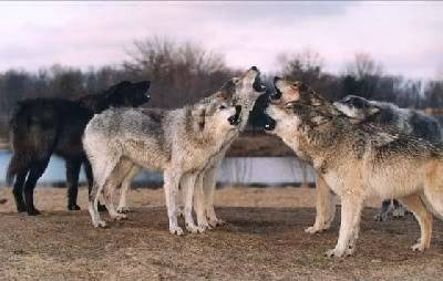 Mount Shasta Wolf Pack - OPEN TO ALL Wolfpack