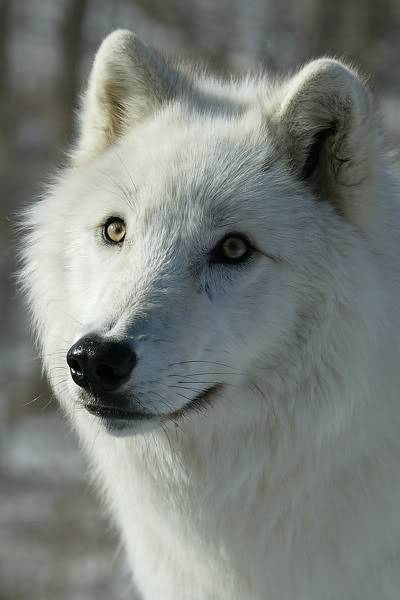 Mount Shasta Wolf Pack - OPEN TO ALL Wwitee