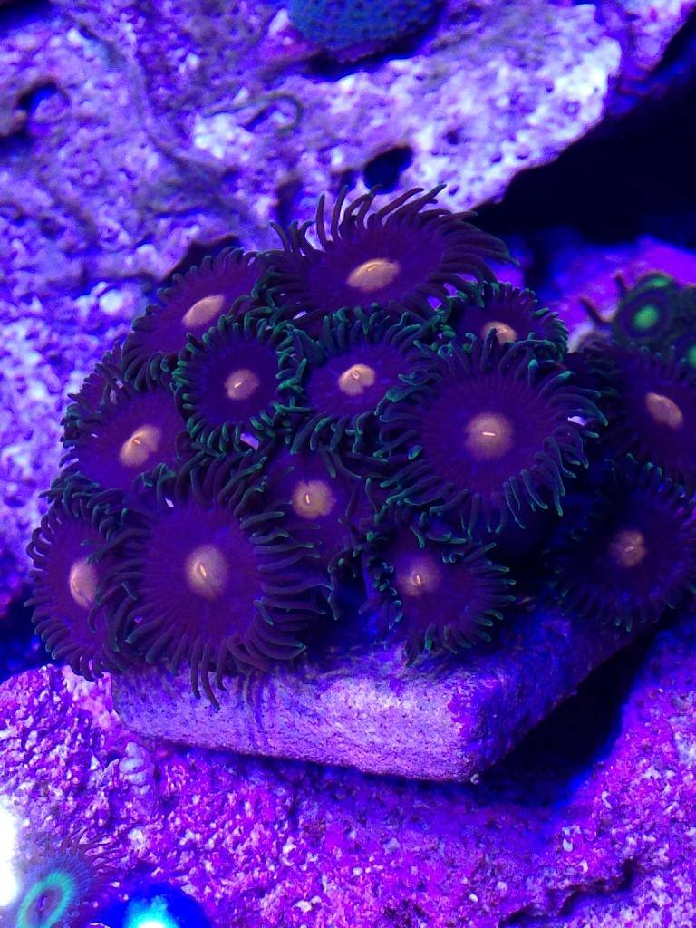 Tanks, equipment, coral and fish 4 sale 4D33D91F-3823-43B2-BC23-E76589D2914B_zpsfxcer0pv