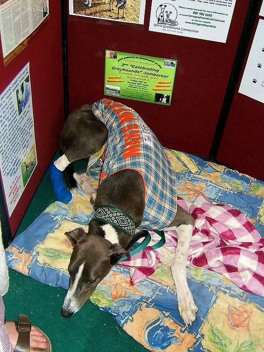 Django ~ 2yo Big Blue Greyhound Fella 35387_137873139574539_1000005556021