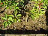 Plumeria - Pagina 2 Th_P8110125