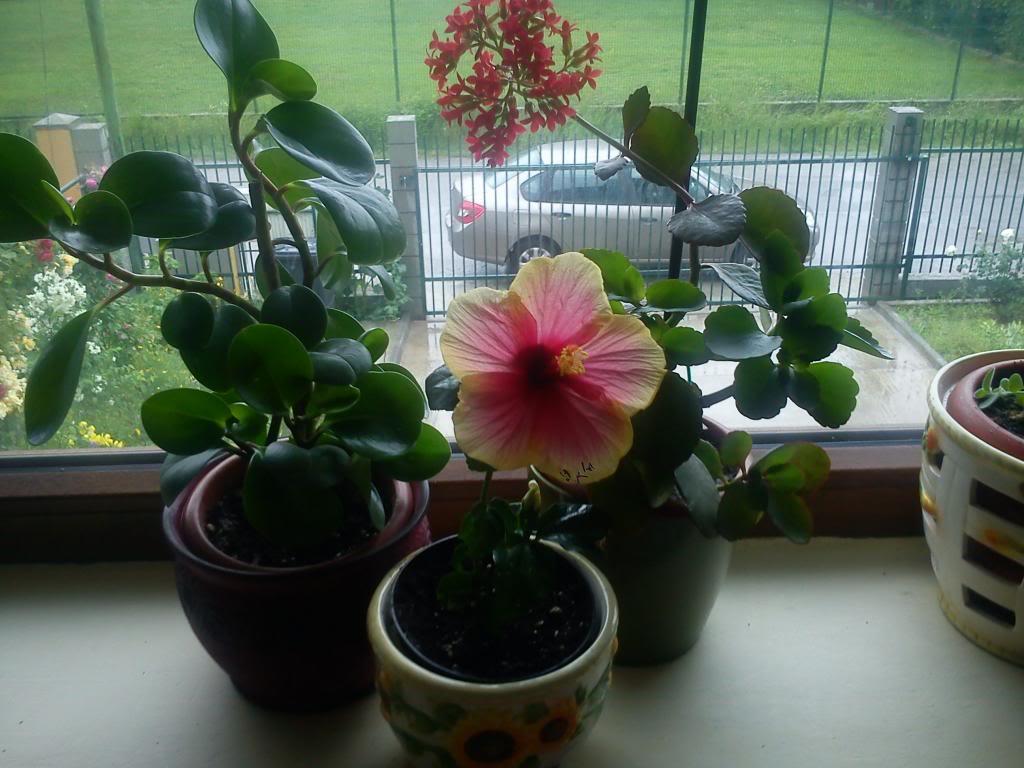 Hibiscus rosa sinensis - Pagina 6 DSC00204_zps26244369