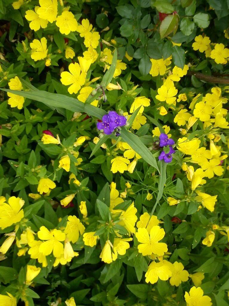 Discutii despre diverse plante DSC00385_zpsbf9721b5