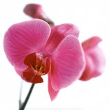 Ma Vie ! - Page 2 ARE172Pink-Orchid-Posters-1