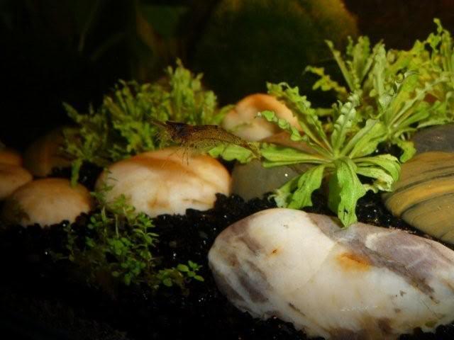 mes crevettes (sulawesi et autres) A