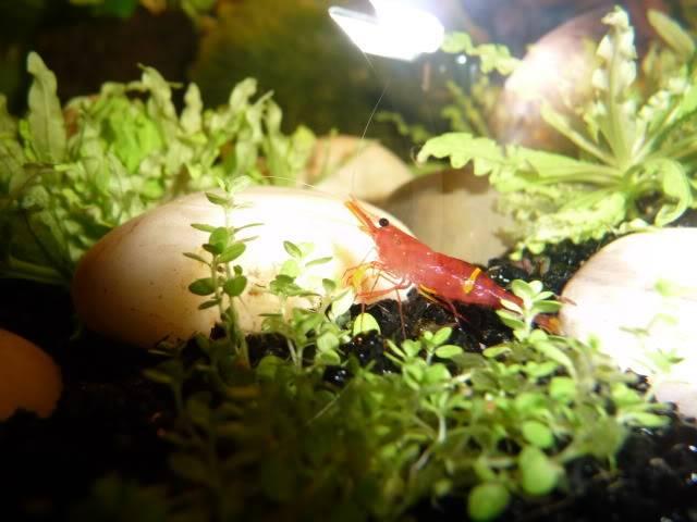 mes crevettes (sulawesi et autres) Crevette