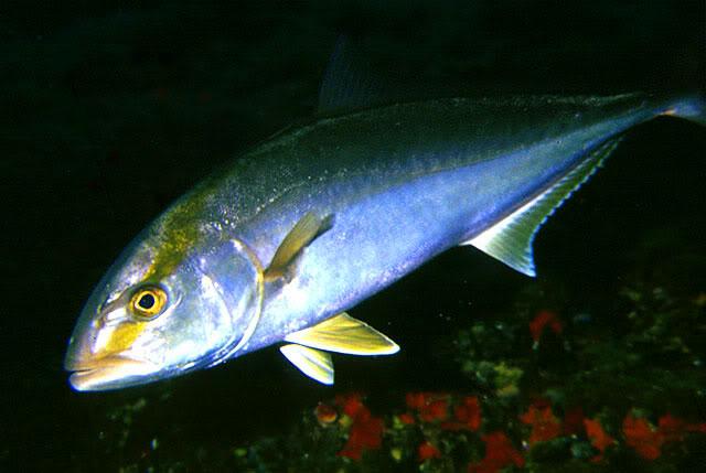 RIBA - MORSKA i SLATKOVODNA: vrste, zanimljivosti, pitanja, ribolov, recepti za pripremu... - Page 4 Gof