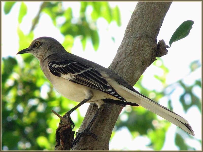 moqueur polyglotte Cubafvrier2011241
