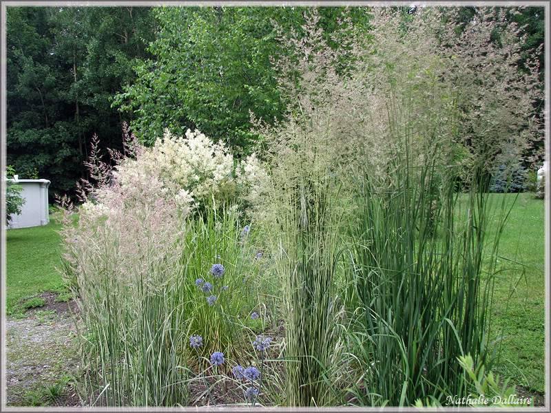 "Calamagrostis x acutiflora ""Karl Foerster"" 4juillet2009028"