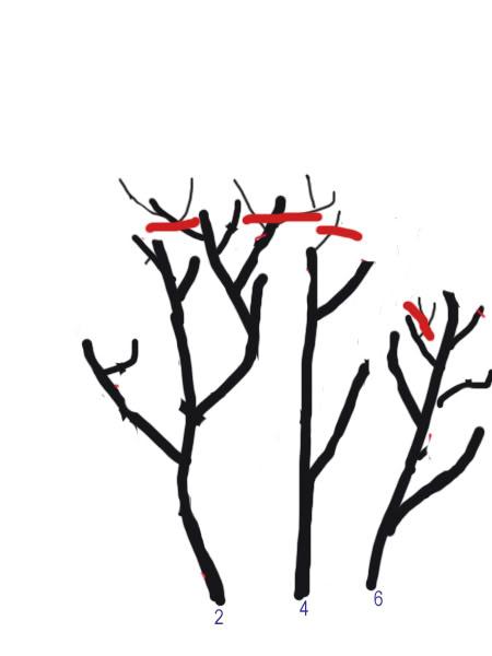 Petit cours sur la taille d'arbuste Taillearbuste10