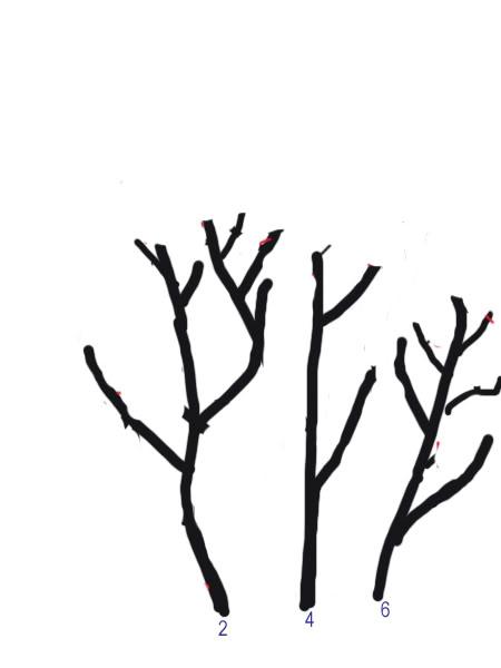 Petit cours sur la taille d'arbuste Taillearbuste11