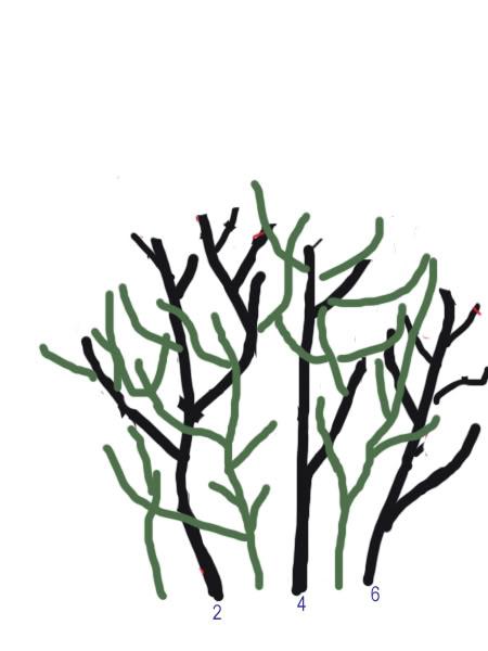 Petit cours sur la taille d'arbuste Taillearbuste12