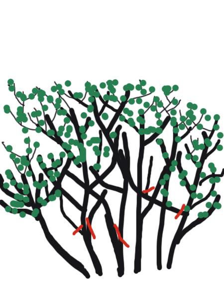 Petit cours sur la taille d'arbuste Taillearbuste3