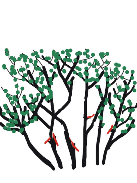 Petit cours sur la taille d'arbuste Taillearbuste4