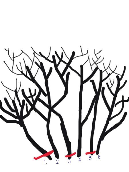 Petit cours sur la taille d'arbuste Taillearbuste6