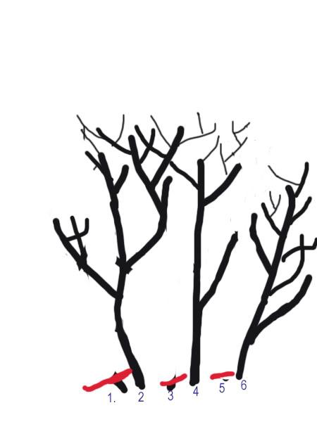 Petit cours sur la taille d'arbuste Taillearbuste7