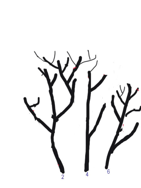 Petit cours sur la taille d'arbuste Taillearbuste9