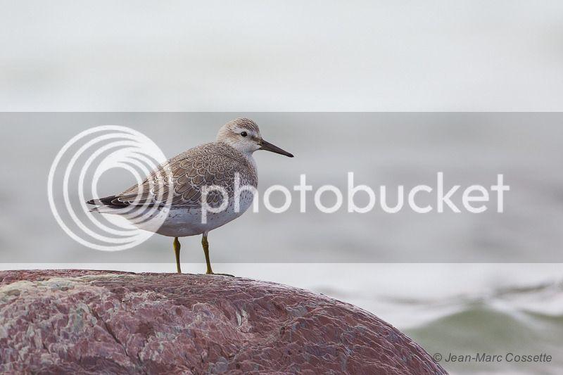 Bécasseau maubèche en plumage d'hiver BecasseauMaub-9671_zpsgmiervw4