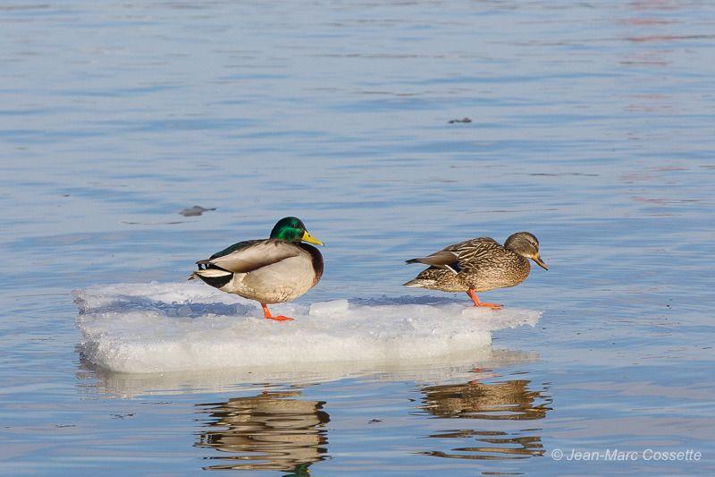 Colverts sur leur radeau de glace BernachesGlace-0100_zpsuzwzqjcv