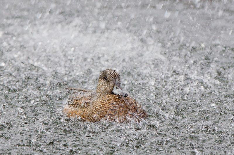 Le canard qui aimait prendre sa douche CanAmeriDouche131030-0576_zps9956dfb9