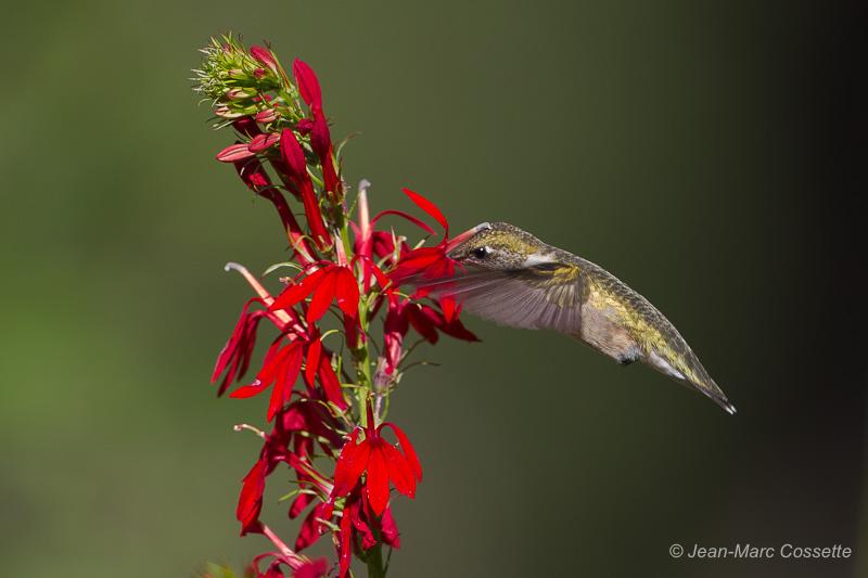 Colibri Colibri-6895_zps14ojdzim