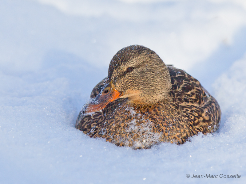 Canard colvert dans la neige ColvertFNeige131218-3698_zps791c6bd4