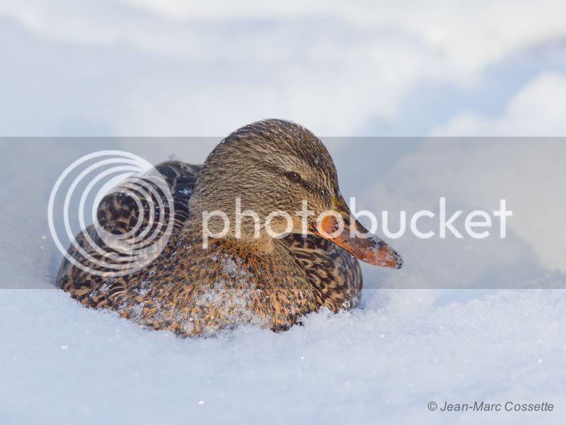 Canard colvert dans la neige ColvertFNeige131218-3699_zpse3f34344