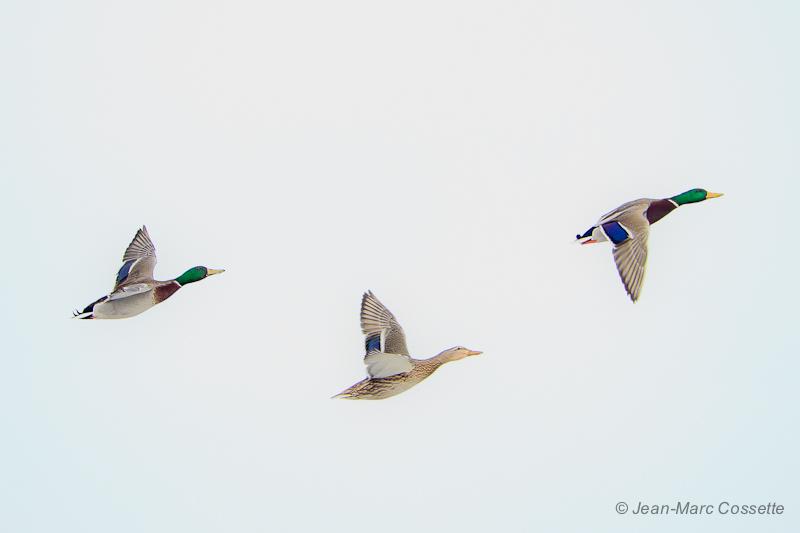 Trois beaux canards... ColvertsEnVol130129-6451_zps9bd30165