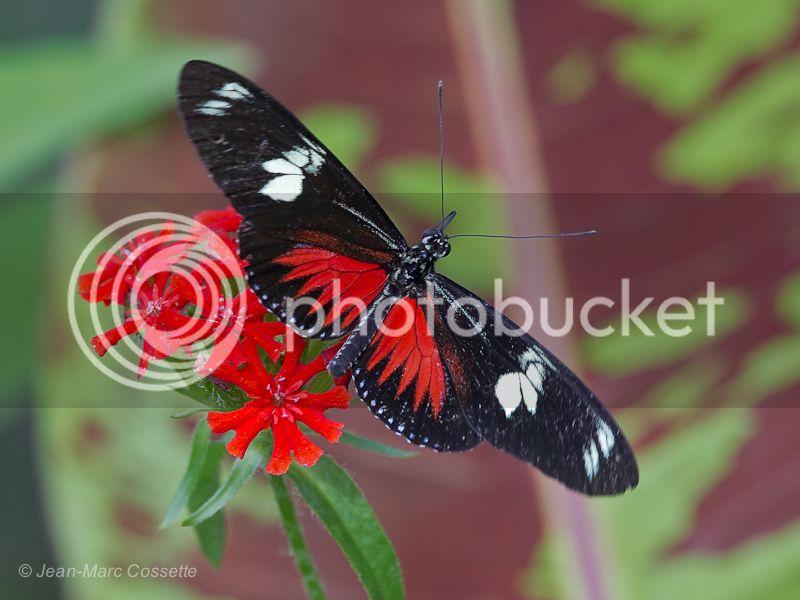 Papillon Héliconius Doris Cooper100731-315_zps2490faf7