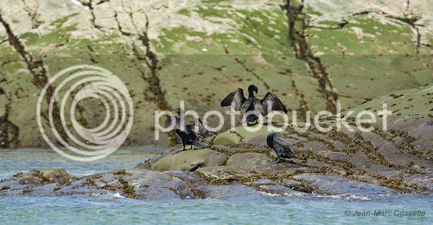 Cormorans de l'île du pot Cormorans140619-462_zps2b4bcbb9