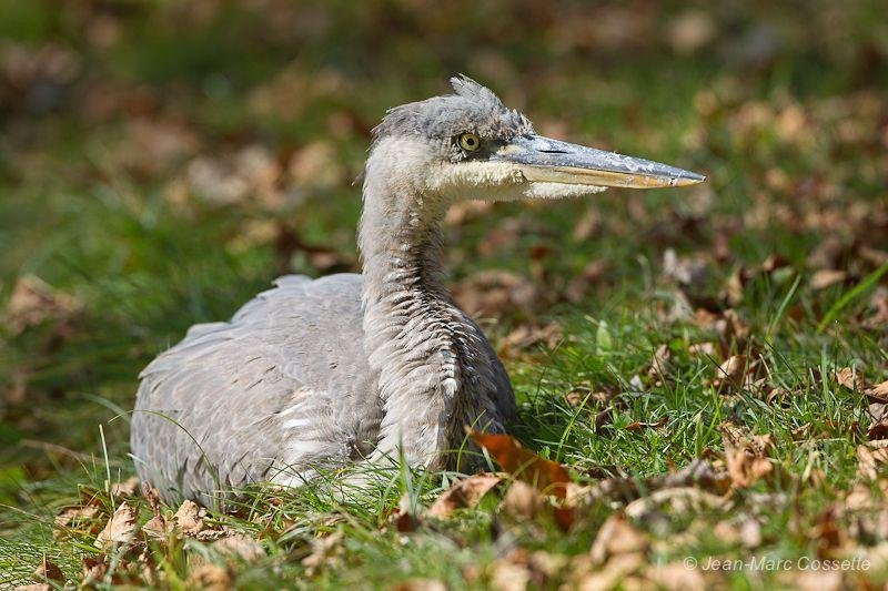 Grand heron au repos GrandHeronJuv131015-380_zps01d2ee86