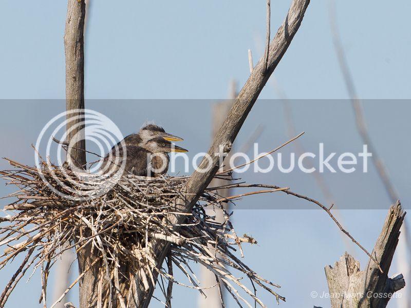 Jeunes hérons au nid HeronNid130630-2141_zps853204b2