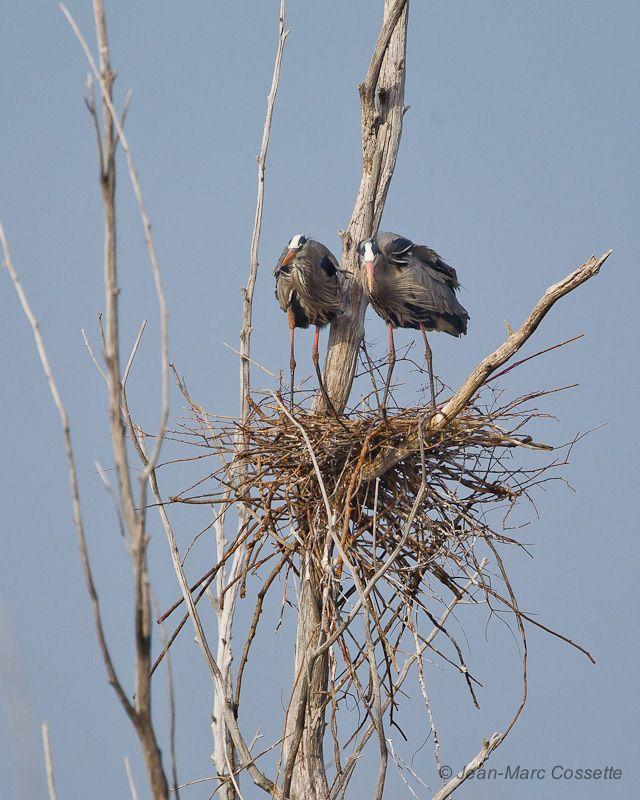 Les grands hérons construisent leurs nids HeronNid140421-1066_zps98acd701
