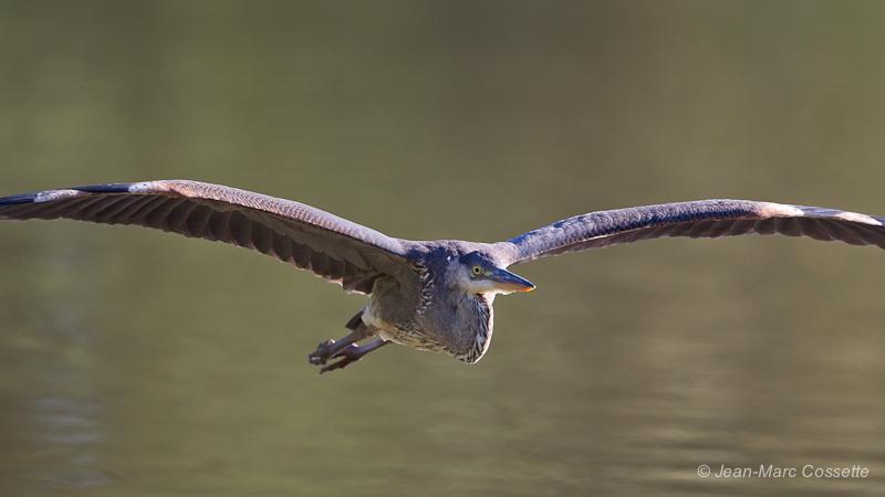 Grand héron en vol HeronVol130823-0776_zpsbf2ef32a
