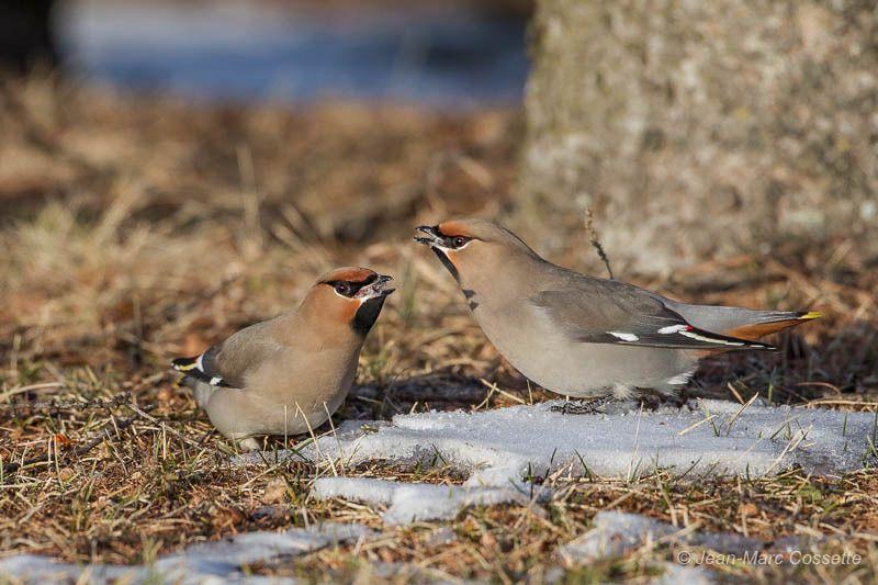 Jaseurs qui mangent de la neige JaseursNeige-7726_zps7tmrzodq