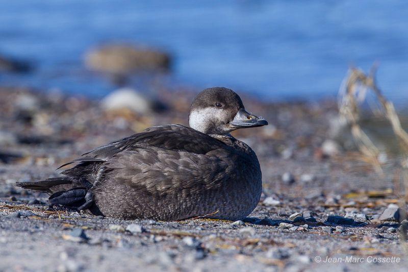 Femelle ou jeune mâle de premier hiver? MacreuseN-147_zpswbmjd4eq