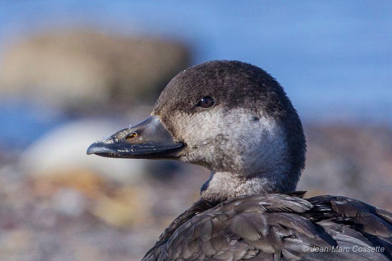 Femelle ou jeune mâle de premier hiver? MacreuseN-158_zpsydl0eten