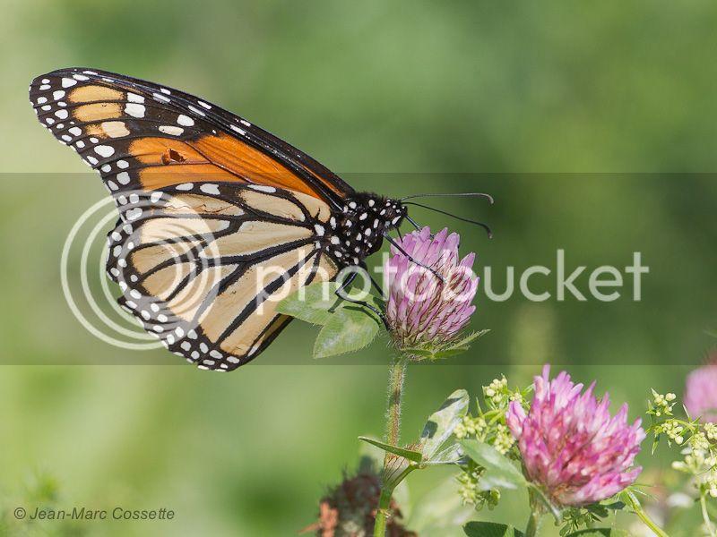 Papillon monarque Monarque140927-2473_zpsd5899ac9
