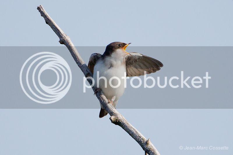Hirondelles bicolores - Nourrissage #2 Nourrissage1130704-1_zps6e1535c0