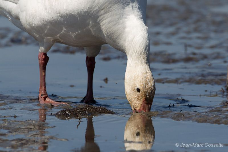 Oies blanches sur les battures OieBoue140525-5640_zps7cf249a9