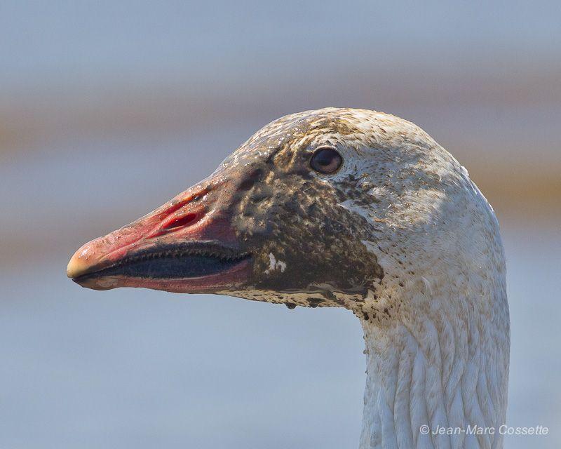 Oies blanches sur les battures OieBoue140525-5660_zpsc81cc085