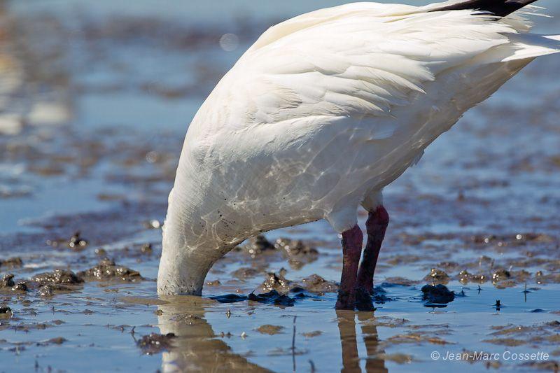 Oies blanches sur les battures OieBoue140525-5663_zps006acb67