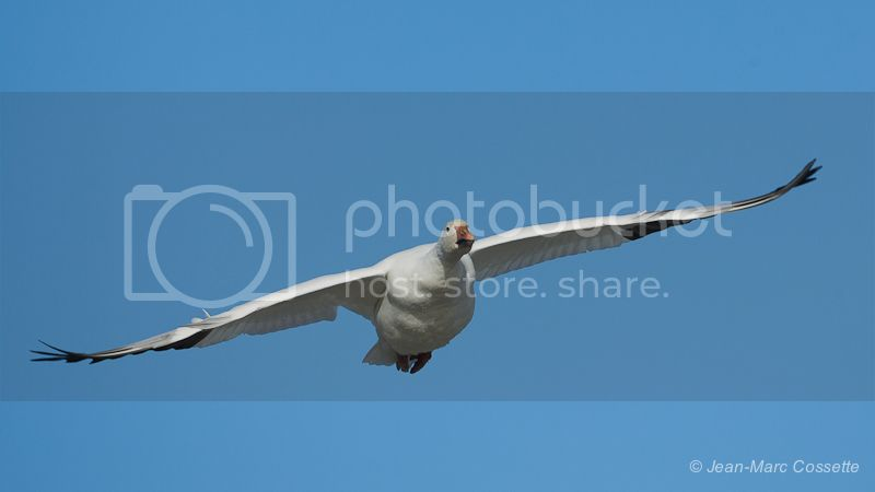 Oies blanches en vol (5 images) OiesEnVol131109-1483_zpsf198f1dd