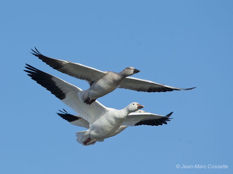 Oies blanches en vol (5 images) OiesEnVol131109-1533_zps9ad1cfce