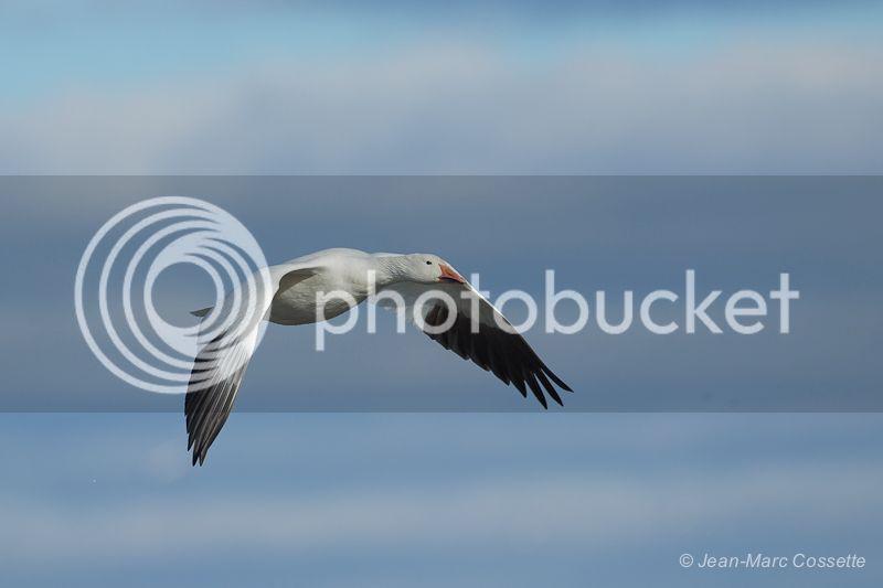 Oies blanches en vol (5 images) OiesEnVol131109-1549_zps591e59f2